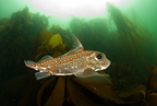 Chimaera, spotted ratfish, ghost shark, Vancouver Island, British Columbia, Canada, Pacific Ocean