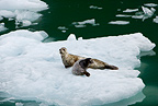 Harbour seal mother with pup on iceberg, LeConte Glacier Bay, Alaska, North Pacific Ocean