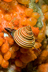 Blue top snail, Alaska, United States, North Pacific Ocean