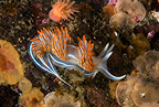 Opalescent nudibranch, Alaska, North Pacific Ocean