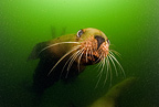 Steller (Northern) sea lion, Endangered (IUCN), Alaska, North Pacific Ocean