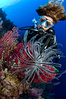 Scuba diver with crinoids or feather star, Lighthouse Reef, Cabilao Island, Bohol, Central Visayas, Philippines, Pacific Ocean