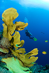 Scuba diver with elephant ear sponge, Gorgonia Wall Reef, Cabilao Island, Bohol, Central Visayas, Philippines, Pacific Ocean