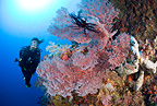 Scuba diver and sea fan, Gorgonia Wall Reef, Cabilao Island, Bohol, Central Visayas, Philippines, Pacific Ocean
