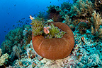 Pink anemonefish in a closed anemone, Black Forest, Balicasag Island, Panglao Island, South Bohol, Central Visayas, Philippines