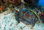 Green sea turtle, Endangered (IUCN), Black Forest, Balicasag Island, Panglao Island, South Bohol, Central Visayas, Philippines
