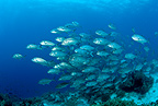 Shoal of bigeye trevally, Black Forest, Balicasag Island, Panglao Island, South  Bohol, Central Visayas, Philippines, Pacific