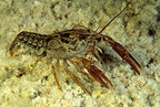 Freshwater shrimp, nature reserve, Cornino Lake, Friuli, Italy