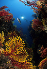 Scuba diver with red and yellow seafan, Estartit, Medas Islands, Marine Protected Area, Spain, Mediterranean Sea