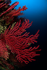 Red seafan, Estartit, Medas Islands, Marine Protected Area, Spain, Mediterranean Sea