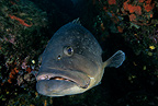 Dusky grouper, Estartit, Medas Islands, Marine Protected Area, Spain, Mediterranean Sea