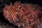 Scorpion fish, Estartit, Medas Islands, Marine Protected Area, Spain, Mediterranean Sea