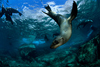 California sea lion, Los Islotes, Sea of Cortez, Baja California, Mexico, East Pacific Ocean