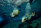 Couple of California sea lions, Los Islotes, Sea of Cortez, Baja California, Mexico, East Pacific Ocean