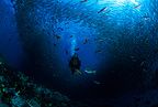 Scuba diver with baitball of Pacific flatirong herring circling, Sea of Cortez, Baja California, Mexico, East Pacific Ocean