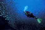 Scuba diver with baitball of Pacific flatirong herring, Sea of Cortez, Baja California, Mexico, East Pacific Ocean
