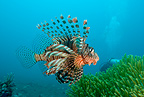 Common lionfish, Lembeh Strait, North Sulawesi, Indonesia, Pacific Ocean