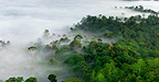 Mist and low cloud hanging over lowland Dipterocarp rainforest with emergent Menggaris Tree visible. Danum Valley, Sabah, Borneo