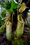 Large pitchers of natural hybrid Pitcher Plant. Montane mossy heath forest (kerangas), southern plateau, Maliau Basin, Borneo