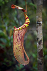 Large aerial pitcher of natural hybrid Pitcher Plant. Montane mossy heath forest or 'kerangas', Maliau Basin, Borneo