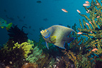 Semicircle angelfish, Indonesia, Indo-Pacific.