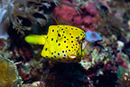 Yellow boxfish, juvenile. Rinca, Komodo National Park, Indonesia.