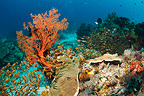 Coral reef with Sweepers and gorgonian. Komodo National Park, Indonesia.