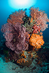 Coral reef with gorgonians and soft corals. Komodo National Park, Indonesia.