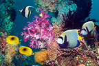Emperor angelfish, Ovalspot butterflyfish and a Moorish idol swimming over coral reef with soft corals. Bali, Indonesia.