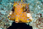 Thornback cowfish, Rinca, Komodo National Park, Indonesia.