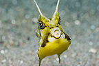 Longhorn cowfish, Rinca, Komodo National Park, Indonesia.