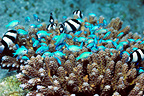 Blue-green chromis and Whitetail dascyllus sheltering in Acropora coral, Indonesia.