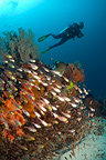 Scuba diver with sweepers, Komodo National Park, Indonesia.