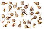Brown lipped snails photographed on a white background. Digital composite, all snails pictured are different individuals. Peak District National Park, Derbyshire, UK. April