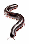 Tanzanian Giant Millipede. Captive, originating from Africa.