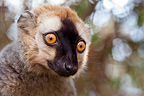 Red fronted brown lemur, Kirindy forest, West Madagascar