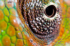 Panther Chameleon close-up of eye. Masoala Peninsula National Park, north east Madagascar.