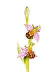 Bee orchid in flower, photographed against a white background. Peak District National Park, Derbyshire, UK. June.