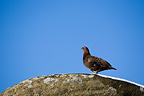 Red Grouse on gritstone boulder against blue sky. December, Peak District National Park, UK.