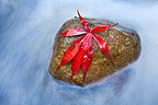 Japanese Maple leaf on stone in river.