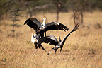 Secretary birds territory fight, Mara Naboisho, Kenya