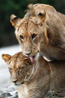 Young lion couple, Mara Naboisho, Kenya