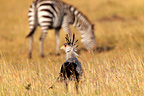 Secretary bird feeding with zebra in background, Mara Naboisho, Kenya