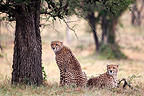 Young cheetahs resting under tree, Mara Naboisho, Kenya