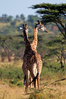 Two giraffes,