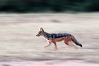 Black-backed jackal running, Mara Naboisho, Kenya