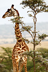 Giraffe and acacia tree, Mara Naboisho, Kenya