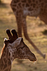 Close up of giraffe head, Mara Naboisho, Kenya