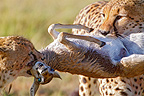 Two young cheetahs with fresh prey, Thompson gazelle, Masai Mara, Kenya