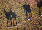 Aerial view of zebras and shadows, Masai Mara, Kenya, February